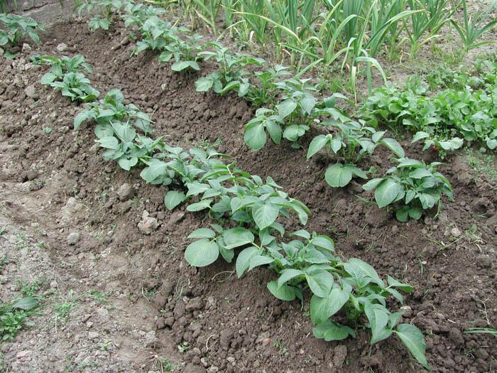 Luigi bonafede il blog di luigi bonafede for Quando si seminano le patate